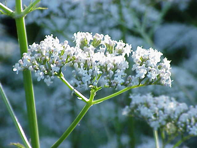 Valeriana_officinalis1.jpg (640×480)
